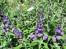 Buddleja davidii 'Dudley's Compact Lavender' httpsuploadwikimediaorgwikipediacommonsthu
