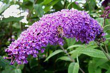 Buddleja davidii 'Flaming Violet' httpsuploadwikimediaorgwikipediacommonsthu
