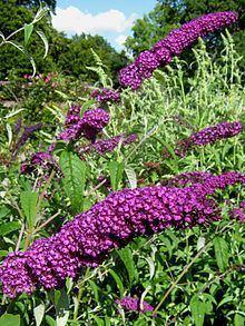 Buddleja davidii 'Royal Purple' httpsuploadwikimediaorgwikipediacommonsthu