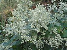 Buddleja dysophylla httpsuploadwikimediaorgwikipediacommonsthu