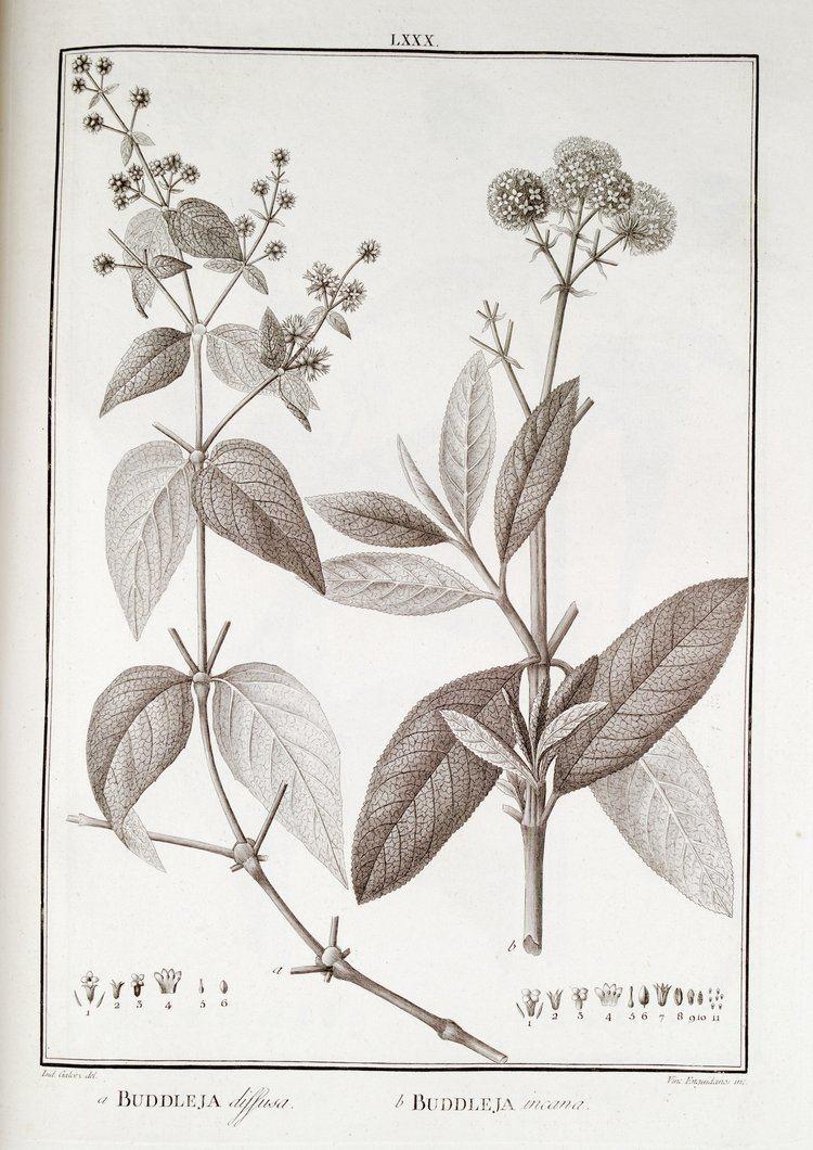 Buddleja incana FileBuddleja incana Ruiz Lopez H Pavon J Flora Peruviana