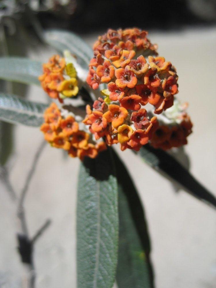 Buddleja incana Pursuing Plants in Peru Science Positive