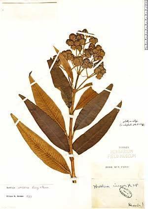 Buddleja incana Muestras Neotropicales de Herbario
