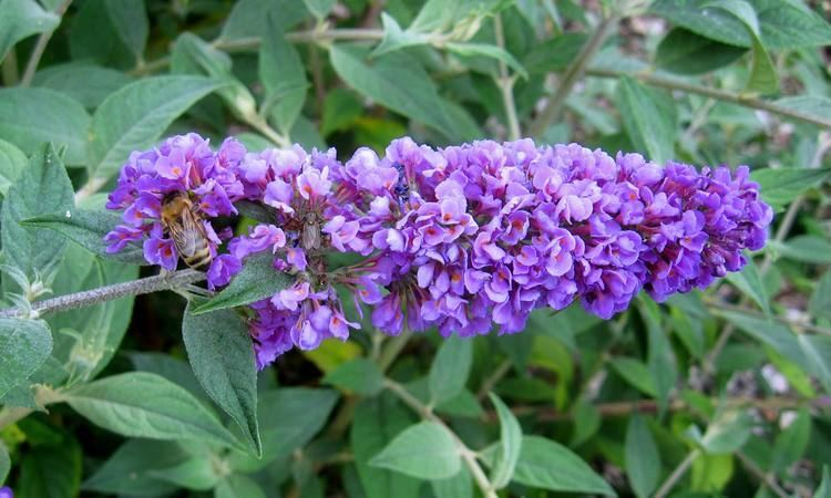 Buddleja Lo & Behold 'Blue Chip' FileBuddleja 39Blue Chip39 paniclejpg Wikimedia Commons