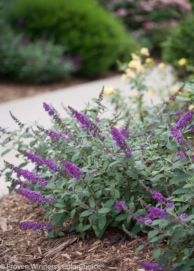 Buddleja Lo & Behold 'Blue Chip' Lo amp Behold 39Blue Chip Jr39 Butterfly bush Buddleia x Proven
