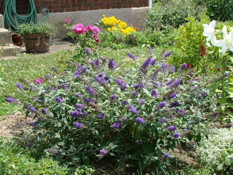 Buddleja Lo & Behold 'Blue Chip' Photo of the entire plant of Butterfly Bush Buddleja Lo amp Behold