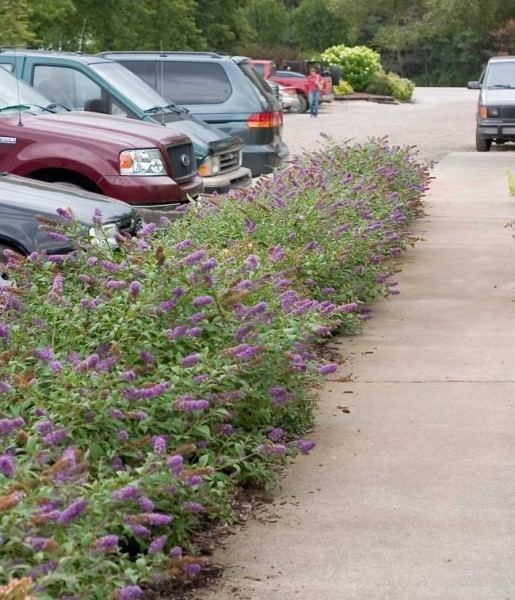 Buddleja Lo & Behold 'Blue Chip' Dwarf Blue Butterfly Bush Decidous trees and Shrubs Assortment