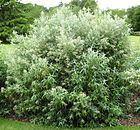 Buddleja loricata httpsuploadwikimediaorgwikipediacommonsthu