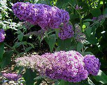 Buddleja 'Minpap' = Reve de Papillon httpsuploadwikimediaorgwikipediacommonsthu