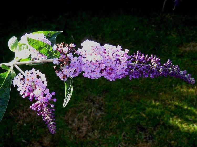 Buddleja 'Podaras11' = Flutterby Lavender