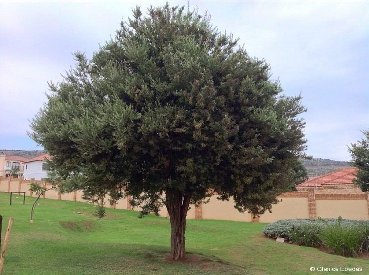 Buddleja saligna Buddleja saligna False Olive PLANTBOOK