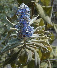 Buddleja salviifolia httpsuploadwikimediaorgwikipediacommonsthu