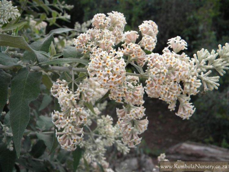 Buddleja salviifolia Buddleja salviifolia Kumbula Indigenous Nursery
