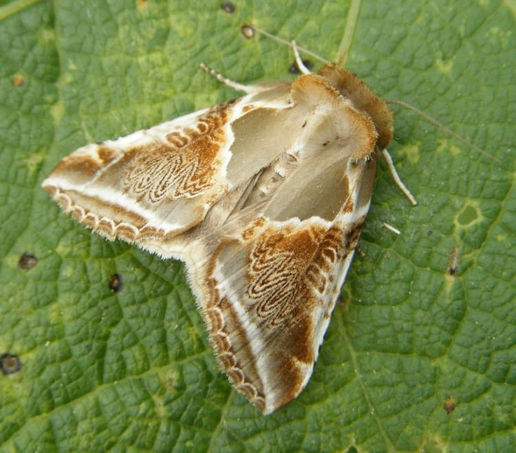 Buff arches Electric the Buff Arches moth Whiteknights biodiversity