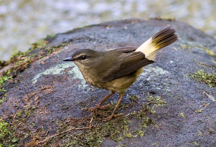 Buff-rumped warbler Buffrumped Warbler Birds of passage