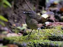 Buff-rumped warbler httpsuploadwikimediaorgwikipediacommonsthu