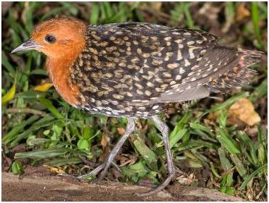 Buff-spotted flufftail Searching for Africa39s Most Skulking Bird Family the Incomparable