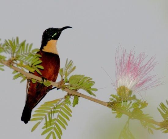 Buff-throated sunbird wwwbirdforumnetopusimagesthumbbb2Buffthro