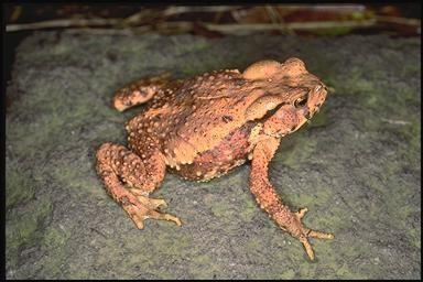 Bufo bankorensis Bufo bankorensis Central formosan toad