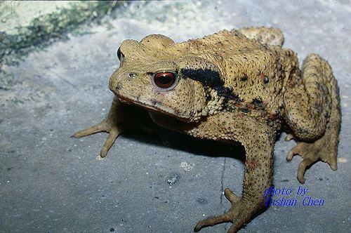 Bufo bankorensis Common toad Bufo bankorensis 5603 cyes1452 Flickr