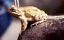 Bufo olivaceus httpsuploadwikimediaorgwikipediacommonsthu