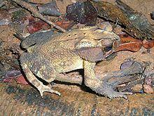 Bufo parietalis httpsuploadwikimediaorgwikipediacommonsthu