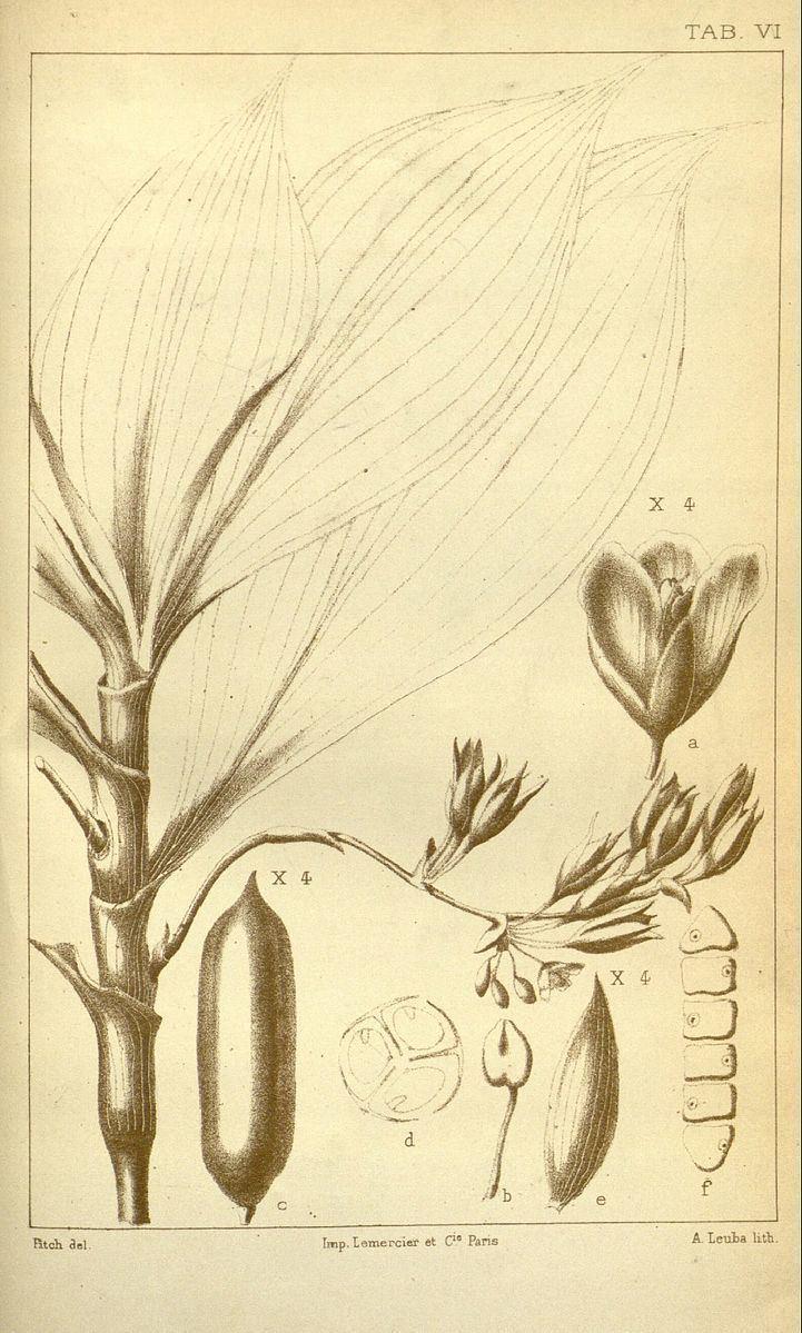Buforrestia