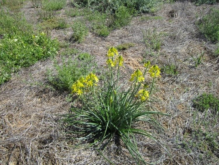 Bulbine bulbosa Bulbine bulbosa Bulbine Lily Gardening With Angus