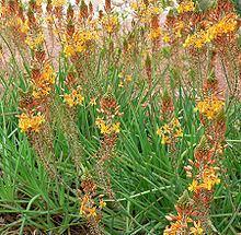 Bulbine frutescens httpsuploadwikimediaorgwikipediacommonsthu