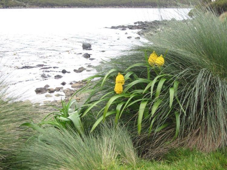 Bulbinella rossii subantarcticislandscomwpcontentuploads201510