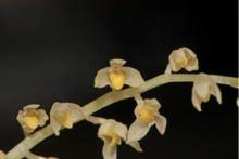 Bulbophyllum apodum httpsuploadwikimediaorgwikipediacommonsthu