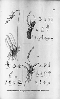Bulbophyllum atropurpureum httpsuploadwikimediaorgwikipediacommonsthu