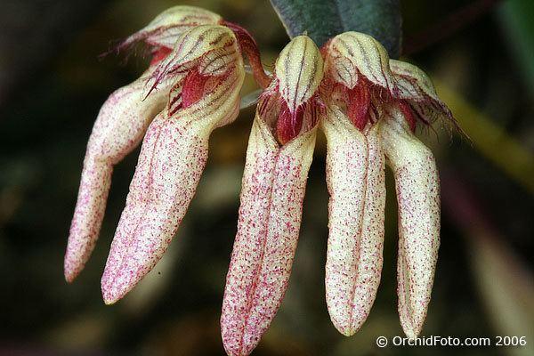 Bulbophyllum auratum IOSPE PHOTOS