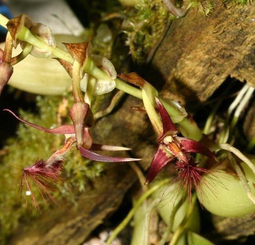 Bulbophyllum barbigerum IOSPE PHOTOS