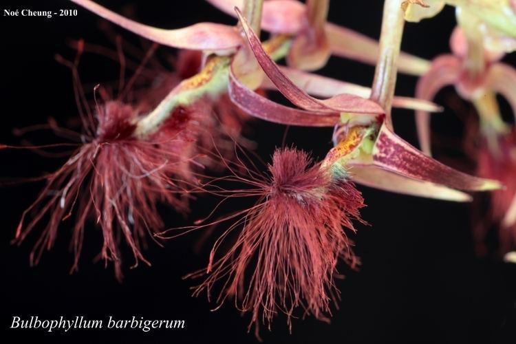 Bulbophyllum barbigerum CalPhotos Bulbophyllum barbigerum