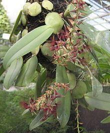 Bulbophyllum barbigerum Bulbophyllum barbigerum Wikipedia