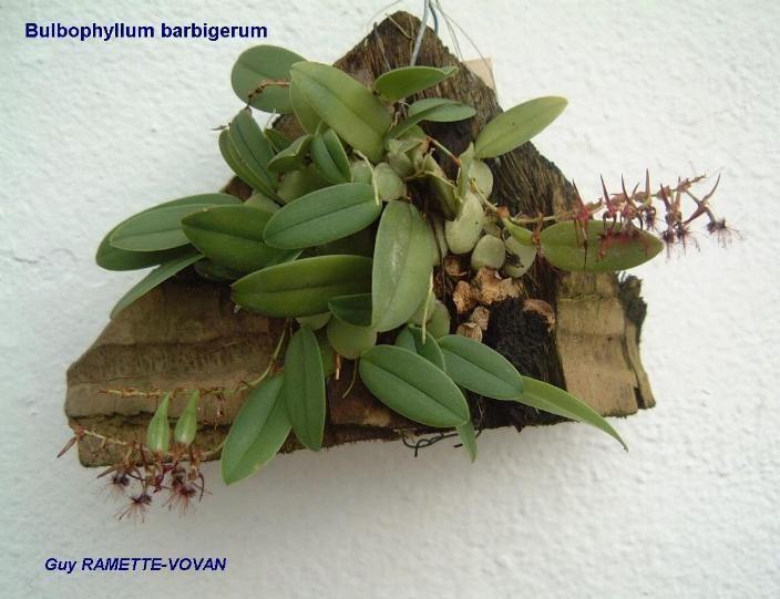 Bulbophyllum barbigerum wwworchidspeciescomorphotdirbulbobarbigerumjpg