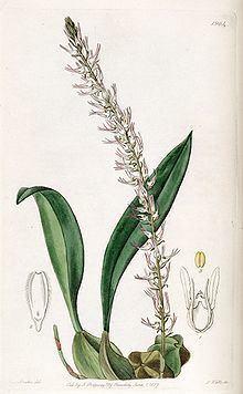 Bulbophyllum cocoinum httpsuploadwikimediaorgwikipediacommonsthu