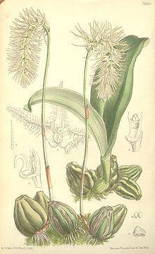 Bulbophyllum comosum httpsuploadwikimediaorgwikipediacommonsthu