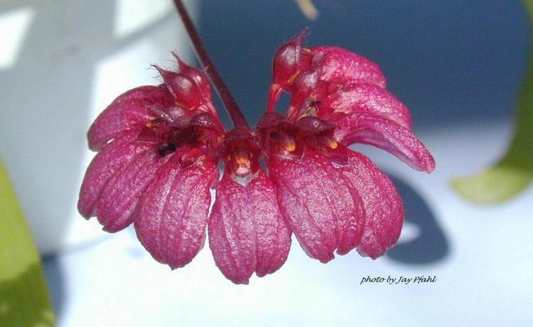 Bulbophyllum corolliferum IOSPE PHOTOS