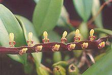 Bulbophyllum falcatum httpsuploadwikimediaorgwikipediacommonsthu