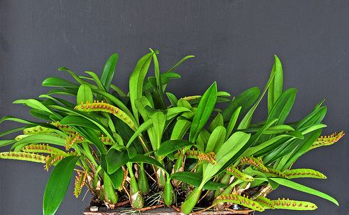 Bulbophyllum falcatum Bulbophyllum falcatum