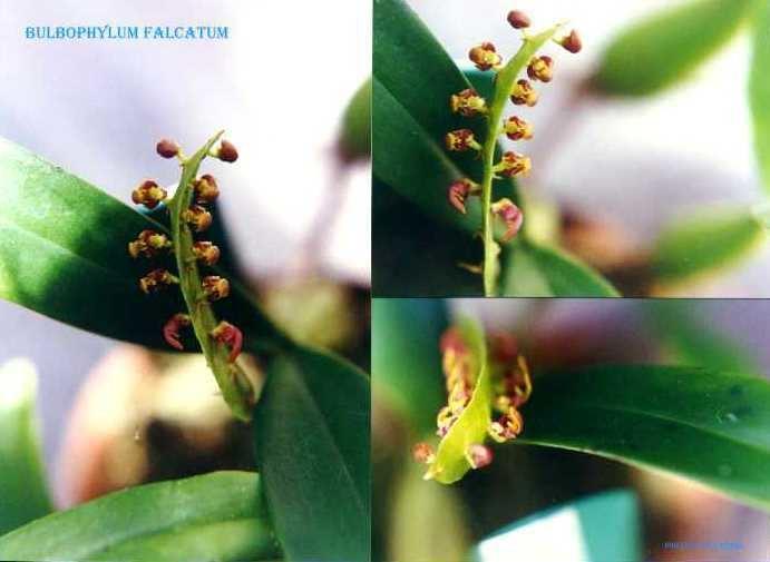 Bulbophyllum falcatum IOSPE PHOTOS