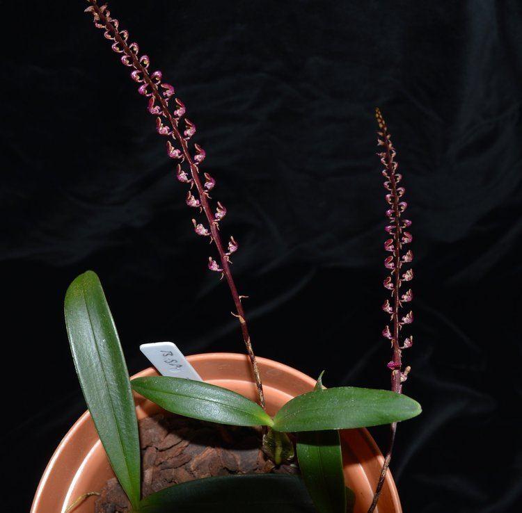Bulbophyllum falcatum Bulbophyllum falcatum Orchids Forum