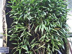 Bulbophyllum imbricatum httpsuploadwikimediaorgwikipediacommonsthu