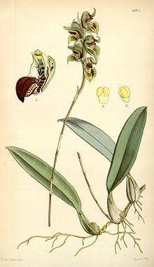 Bulbophyllum malachadenia httpsuploadwikimediaorgwikipediacommonsthu