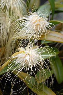 Bulbophyllum medusae httpsuploadwikimediaorgwikipediacommonsthu