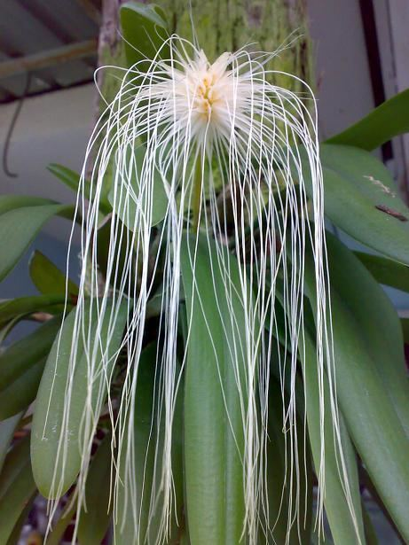 Bulbophyllum medusae 45781d1319588724bulbophyllummedusaebulbmedujpg