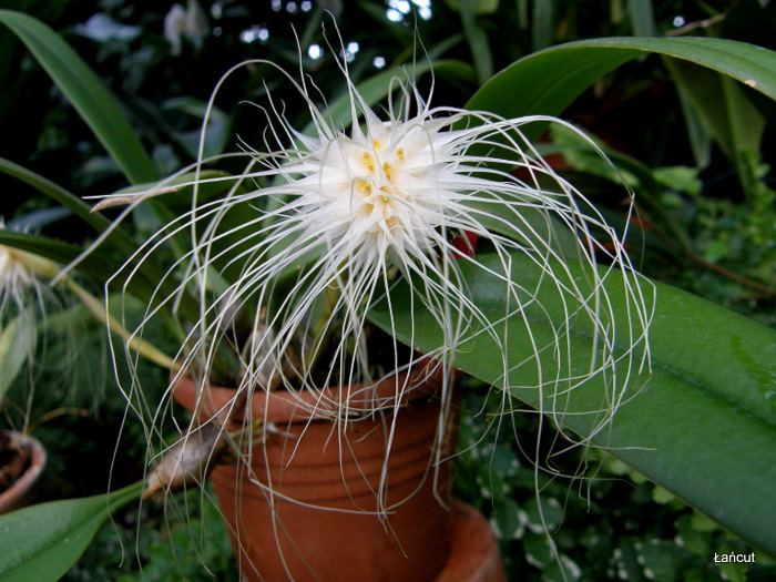 Bulbophyllum medusae Bulbophyllum medusae