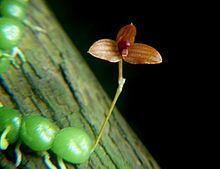 Bulbophyllum minutissimum httpsuploadwikimediaorgwikipediacommonsthu